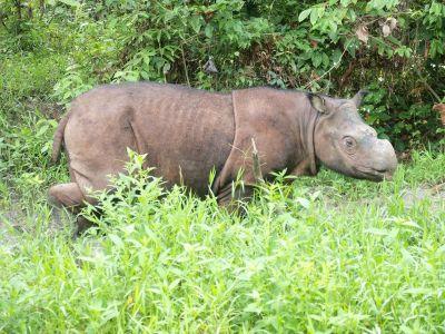 Tabin Wildlife Rhino Tam 2010.jpg
