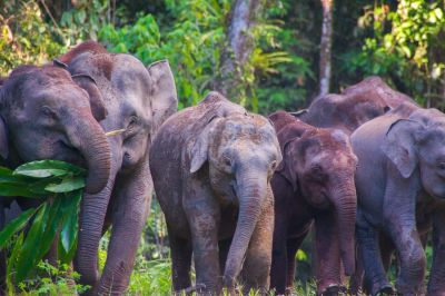 Danum Valley Elephants
